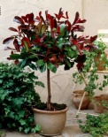 Głogownik Red Robin na pniu 120  cm- Photinia fraseri Little Red Robin