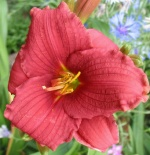 Liliowiec Siloam Red Toy - Hemerocallis Siloam Red Toy
