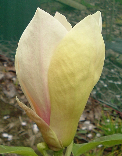 Magnolia ��ta Yellow Lanter- Magnolia Yellow Lantern