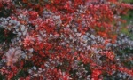 Berberys pośredni Red Jewel  Berberis Media Red Jewel